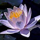 Lotus bloom by Kelly Robinson