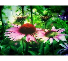 Cone Flowers ©  Photographic Print
