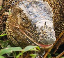 Costa Rican land iguana by Brent Rourk