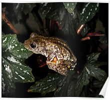 Emerald spotted tree frog Poster