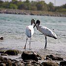 Wood Storks' Dance ...  by Zeanana