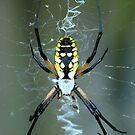 Quiet Spider! by vasu