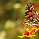 Butterfly by vasu