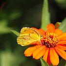 Yellow Butterfly! by vasu