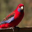 Crimson Rosella  by Vikki Shedden Photography