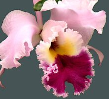 Cattleya Orchid by Rosalie Scanlon