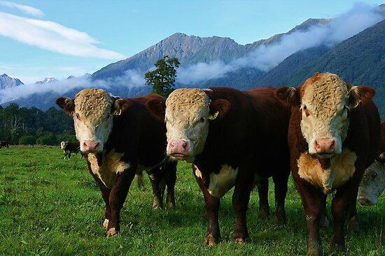 """3 bulls""    flagstaff hereford stud, south westland, new zealand by rina  thompson"