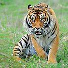 A Sumatran Tiger, Christchurch. South Island, New Zealand. by Ralph de Zilva
