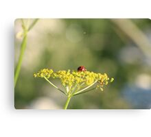 Ladybird on a wild flower. Canvas Print