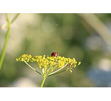 Ladybird on a wild flower. Photographic Print
