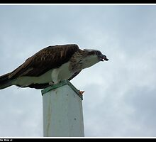 Eagle on Post by templar