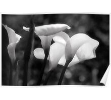 Arum Lillies Poster