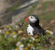 A pensive puffin by photontrappist