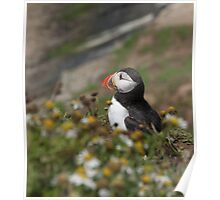 A pensive puffin Poster