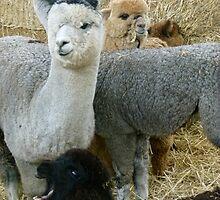 Alpaca Party by elsha