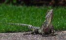 australian water dragon ii by gary roberts