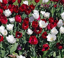 Red And White Tulips by alanball