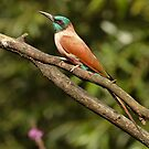 Bee-Eater by Robert Abraham