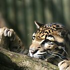 Santigo Cats, Clouded Leopard  by Elaine123