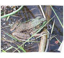 Green Frog- Rana clamitans -Grenouille verte Poster