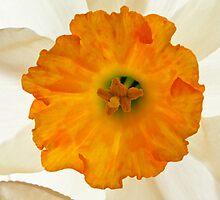 Daffodil Flower by Chris Cobern