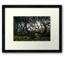 the willow trees Framed Print