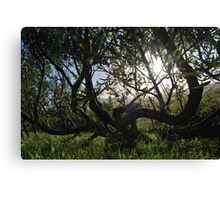 the willow trees Canvas Print