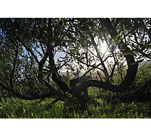 the willow trees Photographic Print