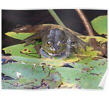 American Bullfrog - Rana catesbeiana- Ouaouaron Poster