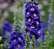 delphinium by gary roberts