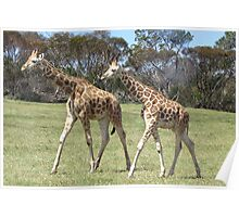 Giraffes - right, we'll go this way then! Poster