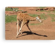 Giraffes - dowsing for water Canvas Print