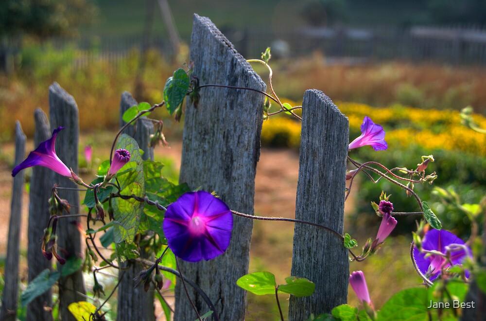 Morning Glories by Jane Best