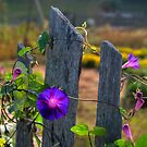 Morning Glories by Jane Best