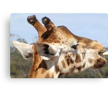 Giraffes - close up and personal Canvas Print