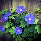 Morning Glories on the Fence by Barbara Wyeth