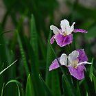 iris by gary roberts