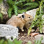 Pika in the Teton Mountains by cavaroc
