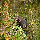 Black Bear in Grand Teton National Park by cavaroc