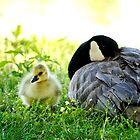 Goose Down... by Karen  Helgesen