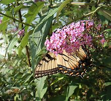 Tiger swallowtail bottom on buddleia flower by CreateArt9