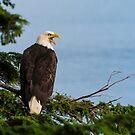 Bald Eagle by Gary Lengyel