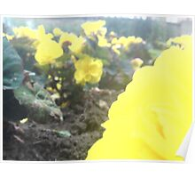 Yellow Flower. Brown Soil. Green Leaves. Poster