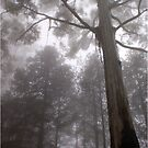 "IN ""MEMORY LANE"" - A BLUE-GUM TREE in the mist by Magaret Meintjes"