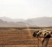 Camel Bomb by jelliefishphoto