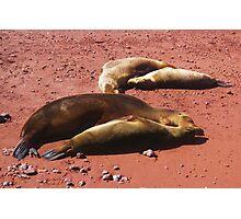 Galapagos Sea Lions Photographic Print