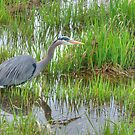 Heron in the Reeds by Tracy Riddell