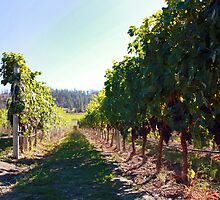 Upper Vineyard at Cedar Creek Estate Winery by Gregory Ewanowich