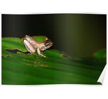 Froglet - Costa Rica Poster