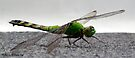 Incredible green Dragonfly by Marcia Rubin